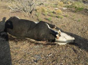 shot-cattle