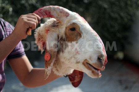 1351247762-eid-aladha-marked-in-jerusalem-with-sacrifice_1550192
