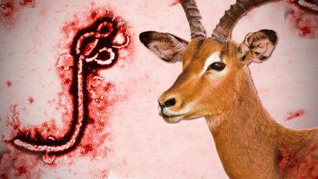 animalistnews--0450--can-animals-spread-ebola--large.thumb