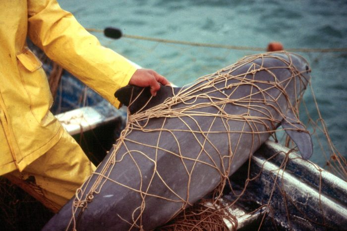 Critically Endangered: There May Be Fewer Than 19 Vaquitas Porpoises Left In The Wild