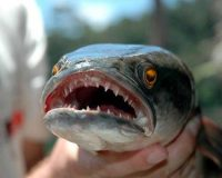 Officials are warning people to 'kill the 3-foot fish immediately' if they see it (Video)